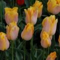 Tulip Jenny